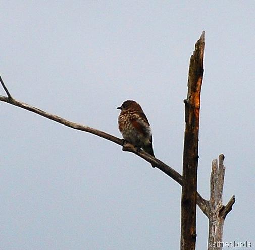 4. juv bluebird-kab