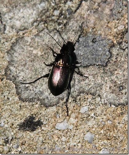 24-Poecilus-versicolor