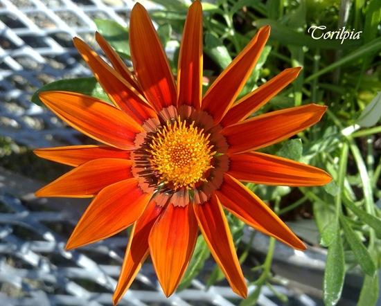 Orange blomst