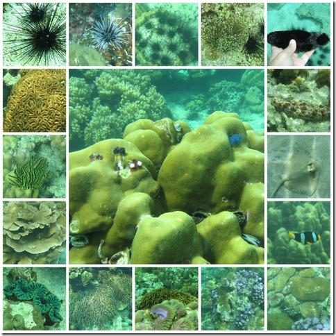 coralsurchins