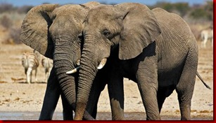 elephants2 love