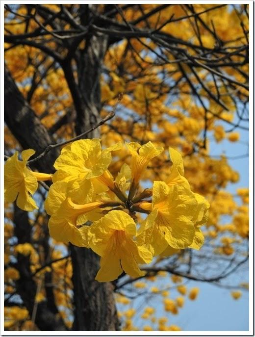 黃花風鈴木在嘉義榮總3