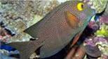 Polynésie poisson chirurgien strié