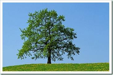 trees oak
