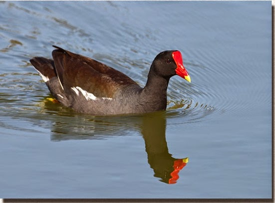 Amazing Pictures of Animals, Photo, Nature, Incredibel, Funny, Zoo, Common Moorhen, Gallinula chloropus, Aves, Alex (28)