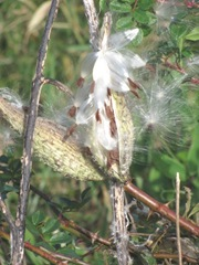 11.2011 fox hill milk weed pod open3