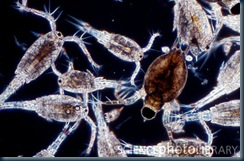 Freshwater zooplankton