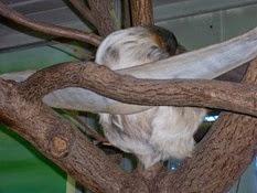 2011.11.14-021 paresseux