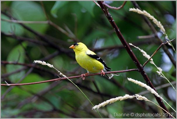 IMG_6388 Yellow Goldfinch
