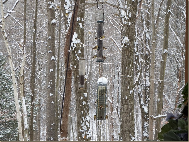 finches on feeders and in trees