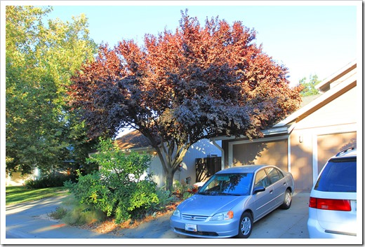 130904_Prunus-cerasifera-Krauter-Vesuvius_08