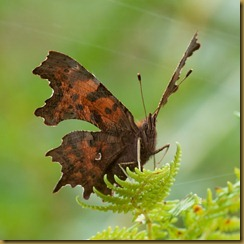 Comma on bracken