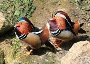 Amazing Pictures of Animals, Photo, Nature, Incredibel, Funny, Zoo, Mandarin Duck, Aix galericulata, Alex (23)