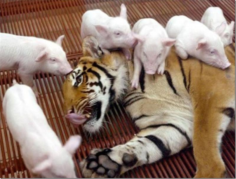 9 Hewan Berbeda Jenis yang Menjadi Sahabat Sejati_anak-babi-dan-macan