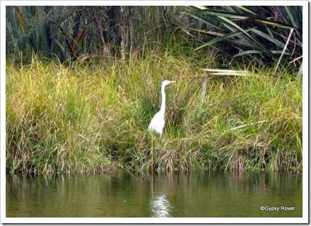 White Heron or Kotuku.