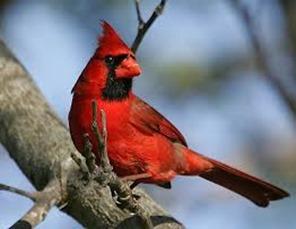 Amazing Pictures of Animals,photo, Nature, exotic, funny, incredibel, Zoo, Northern Cardinal, (Cardinalis cardinalis), Bird, Aves, Alex (6)