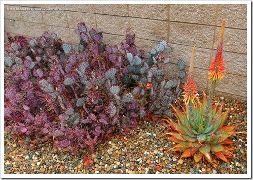 140208_RBG_Aloe-microstigma- -Opuntia-Santa-Rita_002