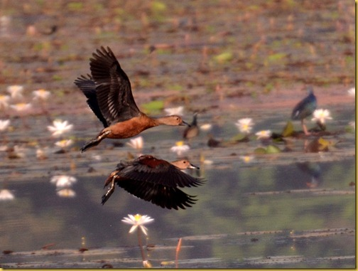 birds-goa-lesserwhistlingducks