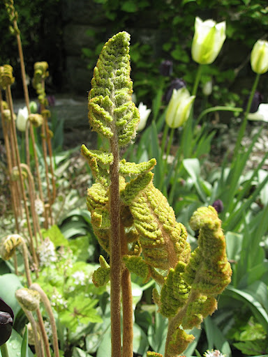 I'm not sure which fern this is, but its fuzzy emerging fronds really captivated me.