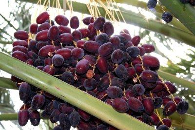 manfaat-buah-kurma-bagi-kesehatan-manusia