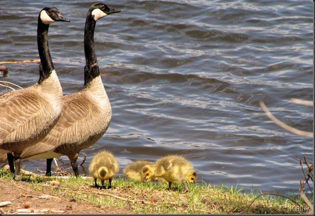 Canada Goose family
