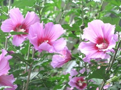 Rose of Sharon1
