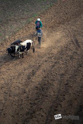 """Nepali tractors say """"Moo!"""""""