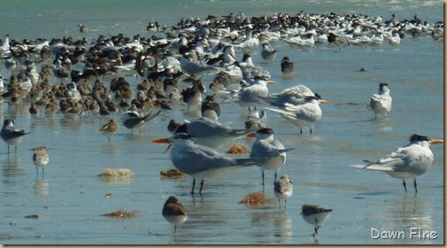 Sanibel Shell and birds_130