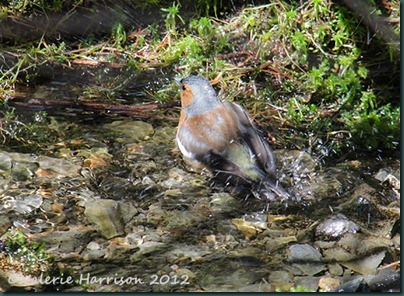 10-bathing-chaffinch