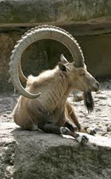 Amazing Pictures of Animals, Photo, Nature, Incredibel, Funny, Zoo, Alpine ibex, Capra ibex, Mammalia, Alex (5)