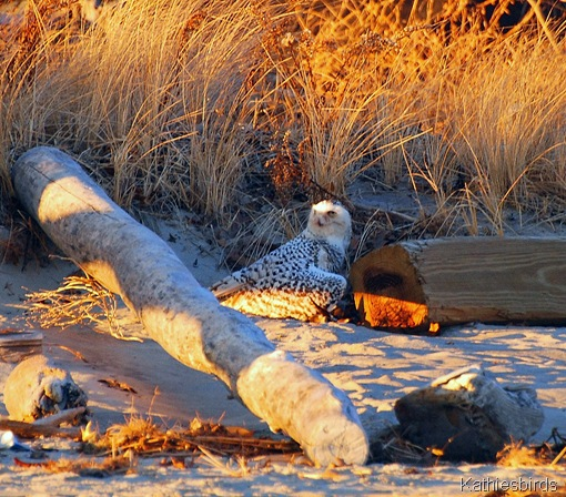 1-10-12 Snowy Owl Plum Island-kab