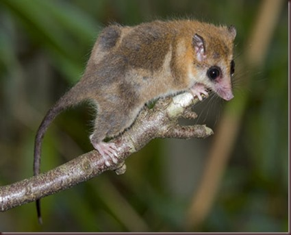 Amazing Animal Pictures Monito del monte (8)