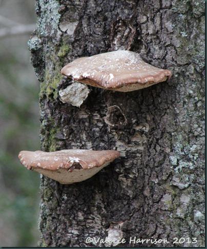 7-birch-polypore