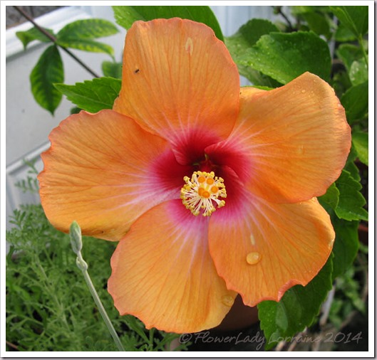 08-16-nanci-hibiscus