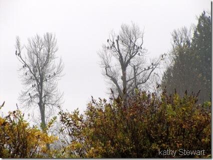 Eagles in the rain