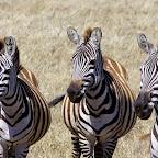 Ngorongoro-Krater, Zebras © Foto: Judith Nasse | Outback Africa Erlebnisreisen