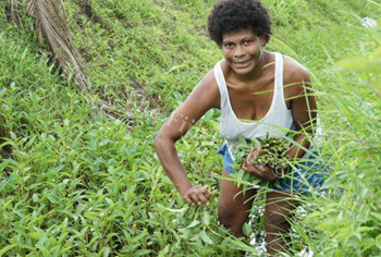 A Fijian woman collects watercress. Damaged ecosystems should be restored and rehabilitated to combat climate change. KELVIN ANTHONY
