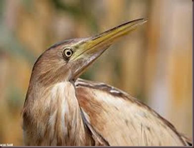 Amazing Pictures of Animals photo Nature exotic funny incredibel Zoo,bird, Little Bittern, Alex (4)