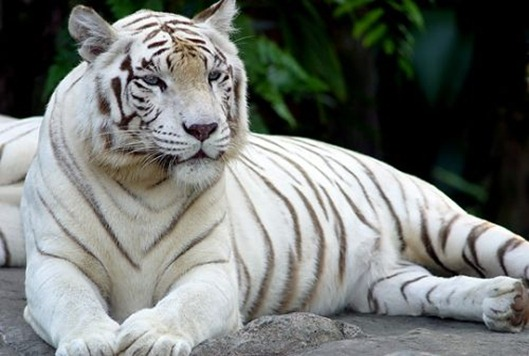 white-tiger-11