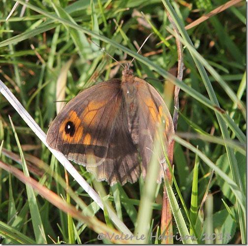 31-meadow-brown
