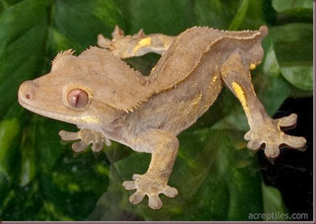 Amazing Animal Pictures crested geckos (2)