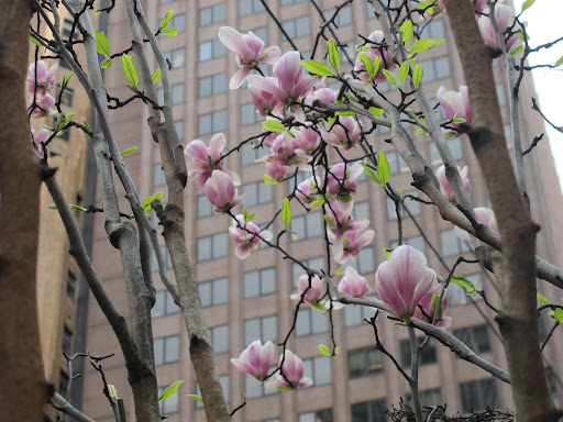 Magnolias are beginning to open up as well.