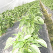 Warraichagrifarms.com-Tunel-Farming54.JPG