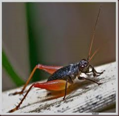 Amazing Pictures of Animals.Cricket (insect) Gryllidae true crickets (5)
