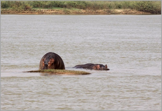 hippos-1