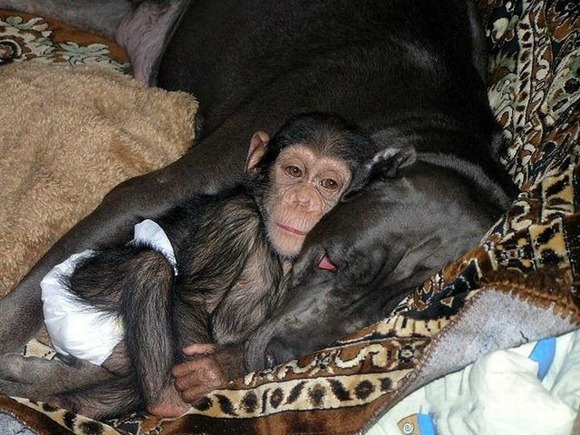Chimpanzee Adopted By a Mastiff 01