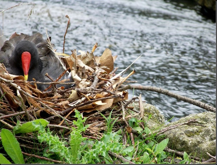 2nd - Garner Olivia - Moorhen on nest (resized)  2011