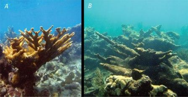 "Corals and coral reefs are severely threatened by processes such as ocean acidification: A, ""Healthy"" coral reef with living Acropora palmata and good water quality. B, Degraded coral reef with dead A. palmata and poor water quality. Processes such as ocean acidification are rapidly transforming healthy reefs into degraded reefs in Puerto Rico and other Caribbean and western tropical Atlantic Ocean regions. Ryan Moyer / USGS website"