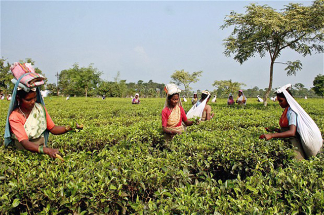 India's tea industry is grappling with diminishing production and reduced prices. High hills and abundant rainfall made Assam state in India's northeast the largest tea-producing region in the world. Now experts say the 'ideal climate' has changed - soaring temperatures and fickle rain are choking the once-flourishing plantation industry. Assam's average temperature now reaches up to 50 degrees Celsius in non-shaded areas. Photo: Reuters
