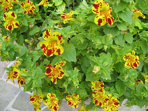 Just outside the gift shop, this spring annual was getting a lot of attention. It is Mimulus, or monkey flower. It's a pity you don't see it more often, as it is really a great plant and people seemed to love it.